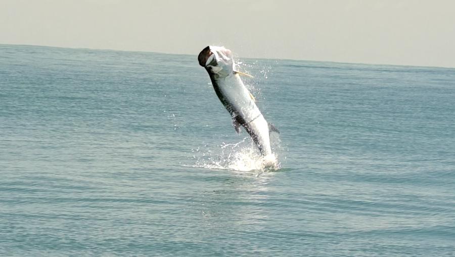 Pêche sportive aux Battures du Connétable saut tarpon